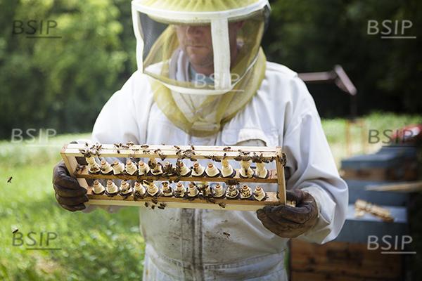 Reportage auprès d'un apiculteur de Haute-Savoie, qui produit du miel bio de montagne. Arnaud possède un cartel de 250 ruches conduites en apiculture biologique.  Les ruches sont déplacées au fil des floraisons, en limitant le risque de rencontre avec des pesticides. Afin de pour voir créer de nouvelles ruches, Arnaud cultive de nouvelles reines. Pour qu'une abeille devienne reine, il faut qu'une ruche soir orpheline, c'est à dire sans reine. Dans ce cas, les ouvrières vont nourrir une larve avec de la gelée royale et cette larve deviendra reine. Chaque reine pourra être placer dans une nouvelle ruche avec des ouvrières.